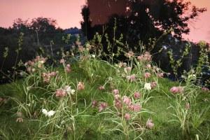Kungsängslilja i Linnés lummiga salar