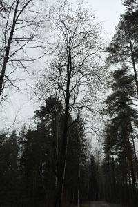 Ganska så reslig bland andra träd