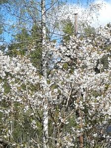 Ett vitt moln av blommor
