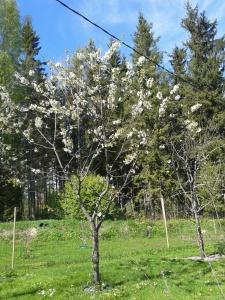 Sötkörsbärsträdet, ca 5 meter högt