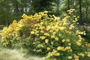 gult blomhav