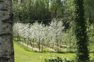 Äppelblom i våras, hos BJR och OO
