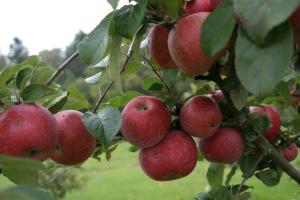 Rött och saftigt... från Fruticetum.