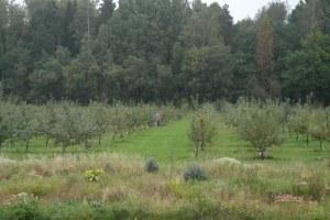 """Det går inte att fånga hela Fruticetum på en bild. Här """"några"""" av äppelträden..."""