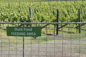 Bakom skylten skymtar levande ankor. De håller ett och annat otyg borta från vingården